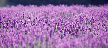 Purple lavender flowers in the field. Traditional medicine and cosmetic products Stock Photos