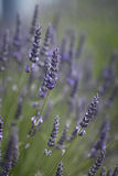 Purple lavender flowers Royalty Free Stock Images