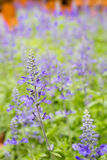 Purple lavender flowers with green leaf. In the field Royalty Free Stock Photos