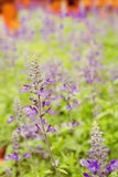 Purple lavender flowers with green leaf. In the field ,vintage style Royalty Free Stock Photos