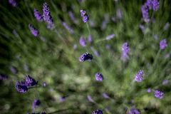 Purple lavender flowers in green plant Royalty Free Stock Images