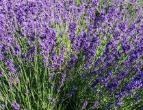 Purple lavender flowers at morning time with blurred background in the garden. stock photo