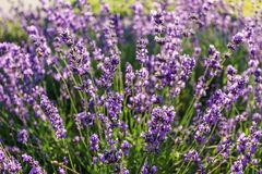 Purple lavender flowers at morning time with blurred background in the garden. stock photos