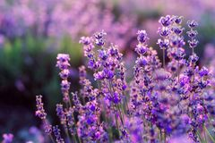 Purple lavender flowers stock image