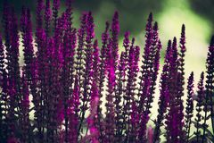Purple Lavender Flowers Selective-focus Photography royalty free stock image