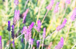 Purple lavender flowers - Sunset over a summer Royalty Free Stock Photo