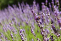 Purple lavender flowers, Sunset over a summer lavender field. Bu Royalty Free Stock Images