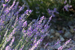Purple lavender in France Stock Photos