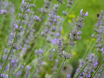Purple Lavender in Garden. Purple lavender bed  in garden or park with flying bumblebee in background Royalty Free Stock Photography