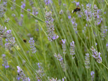 Purple Lavender in Garden. Purple lavender bed  in garden or park with flying bumblebee in background Stock Photos