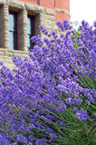 Purple lavender garden Stock Photography