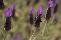 Purple Lavender on Green Royalty Free Stock Photography