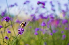 Purple lavender and green grass and butterfly in the Park. Purple lavender and green grass and butterfly in a field of flowers in the Park royalty free stock photos