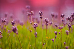 Purple lavender in Holland, summer Royalty Free Stock Image