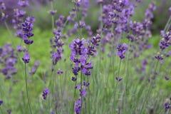Purple Lavender - Lavandula Stock Images
