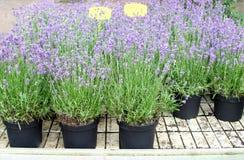 Purple lavender, lavandula Hidcote, plants flower pots garden center greenhouse. Purple blooming lavender, lavandula Hidcote, plants in a flowerpots in a garden stock images