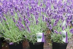 Purple lavender Hidcote, Lavandula, plants pots garden center greenhouse flower nursery. Purple blooming lavender Hidcote, lavandula, plants in a flowerpots in a stock photos