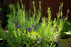 Purple lavender plant in bloom Royalty Free Stock Photo