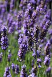 Purple lavender plant in a bunch blowing in the wind. Front close up with blurred images in the background stock photo