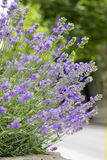 Purple Lavender Plant with Flowers Stock Photos