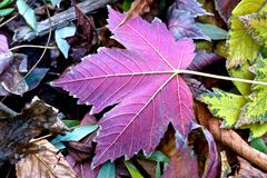 Purple leaf. Autumn came. The sun is not as warm as before. Around the fall of the leaves and waiting for winter Royalty Free Stock Photos