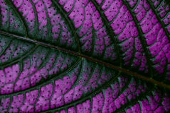 Purple Leaf. Taken in macro mode in texture Royalty Free Stock Images