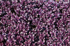 Purple leaf background, abstract soft plant leaves Royalty Free Stock Photo