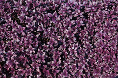 Purple leaf background, abstract soft plant leaves Stock Photography