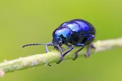 Purple leaf beetle Stock Photography