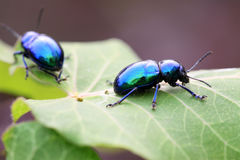 Purple leaf beetle Stock Photography