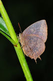 Purple Leaf Blue butterfly. On leaf from Thailand Royalty Free Stock Image