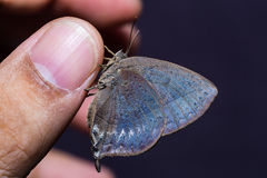 Purple Leaf Blue butterfly Royalty Free Stock Photography