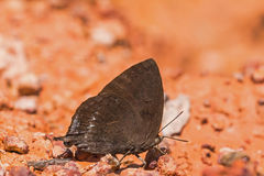Purple Leaf Blue butterfly Stock Images