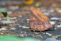 Purple Leaf Blue butterfly Stock Photography