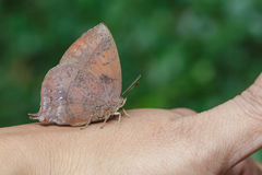 Purple leaf blue butterfly on hand Royalty Free Stock Photography