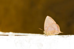 Purple leaf blue butterfly Stock Image