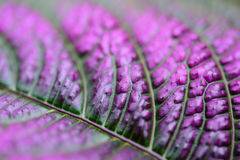 Purple Leaf by close up shot with blur background. And it is a sharp image Royalty Free Stock Photography
