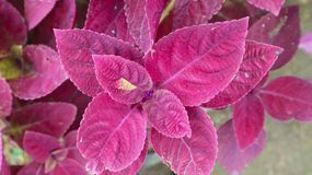 Purple leaf flower plant in the park. Photography Royalty Free Stock Photography