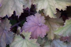 Purple leaf in the middle of green leaves. One Purple leaf in the middle of green leaves with white tips stock photo