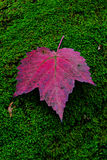 Purple leaf on moss Royalty Free Stock Image