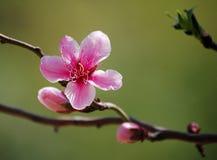 Purple-leaf plum flowers blooming. Blooming Purple-leaf plum flowers in spring royalty free stock photos