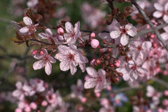 Purple-leaf plum. Picture of purple-leaf plum blossoms (Prunus cerasifera) also known as purple-leaf plum or myrobalan plum. This cultivar has purple foliage and Stock Photos