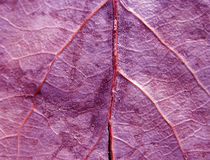 Purple Leaf Texture. Purple leaf background. Close up of the back side of a leaf with purple colored tone. Shallow depth of field with  focus on main leaf vein Stock Images