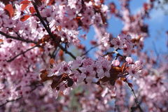 Purple leafed plum blossom against the sky. Purple leafed plum blossom against blue sky royalty free stock images