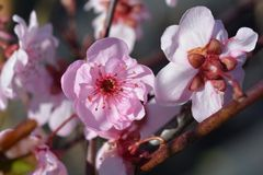 Purple-leafed plum royalty free stock images