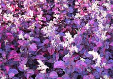 Purple field is blossoming in a tropical garden. royalty free stock photo