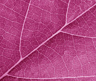 Purple leave texture Royalty Free Stock Photography