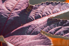Purple leave texture. Purple leaves in the garden Royalty Free Stock Photo