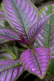 Purple Leaves Royalty Free Stock Photo