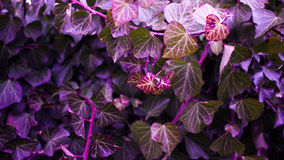 PURPLE LEAVES Stock Images